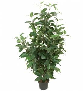 Bilde av Mr Plant - Fikus Benjamin - 80 cm
